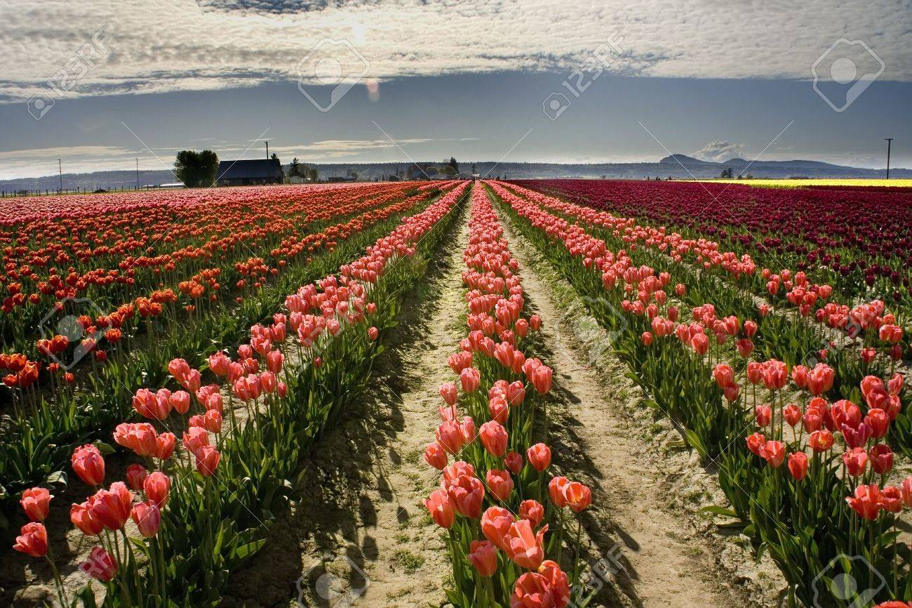Pink Tulip Fields In The Spring, Mount Vernon, Skagit County ...