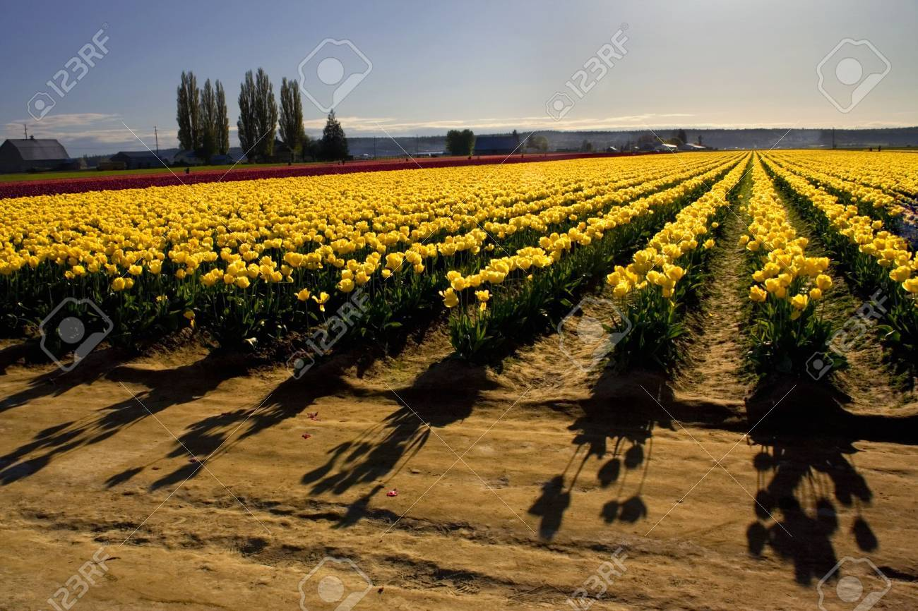Yellow Tulip Fields With Shadows, Mount Vernon, Skagit County ...