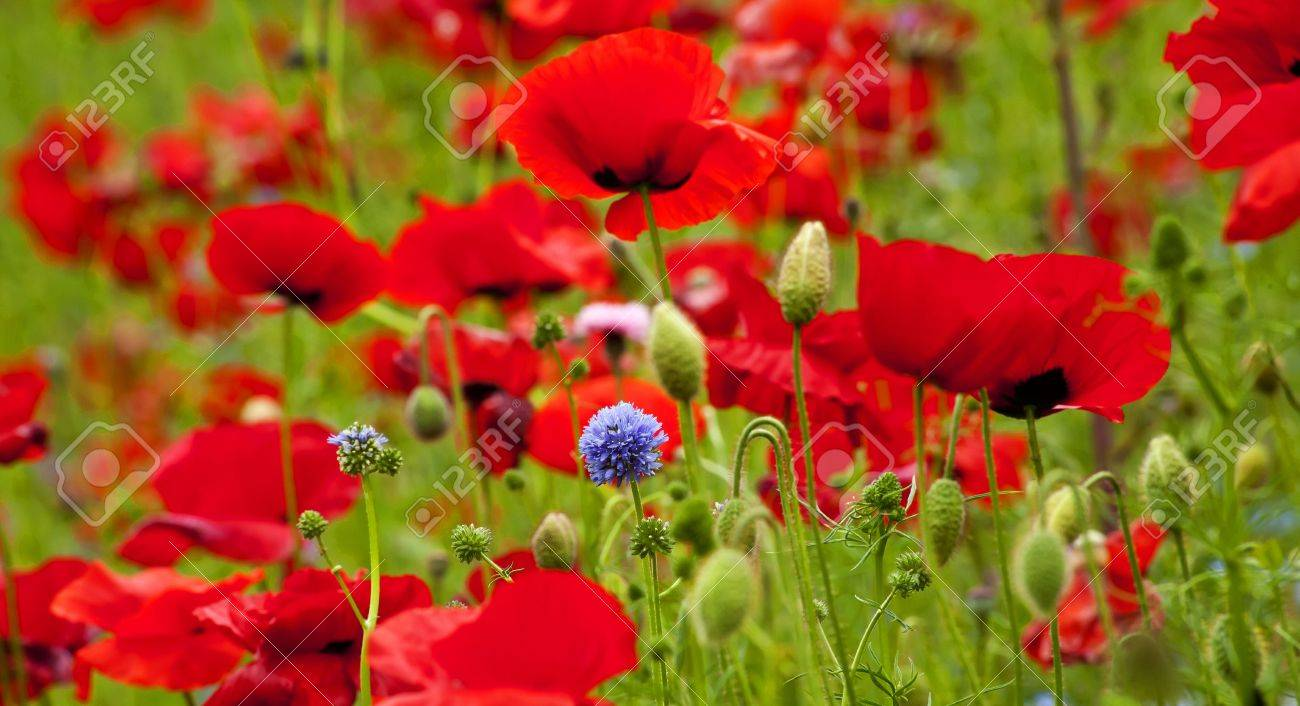 Red poppies flowers blue clover in field snoqualme washington red poppies flowers blue clover in field snoqualme washington papaver rhoeas common poppy flower stock photo mightylinksfo