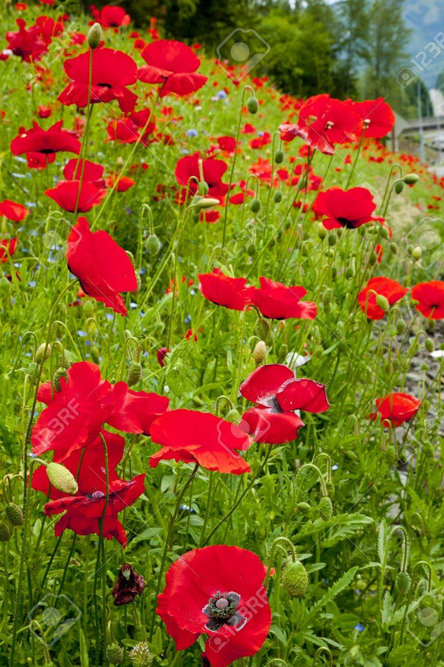 Red poppies flowers in field snoqualme washington papaver rhoeas red poppies flowers in field snoqualme washington papaver rhoeas common poppy flower stock photo 7898390 mightylinksfo