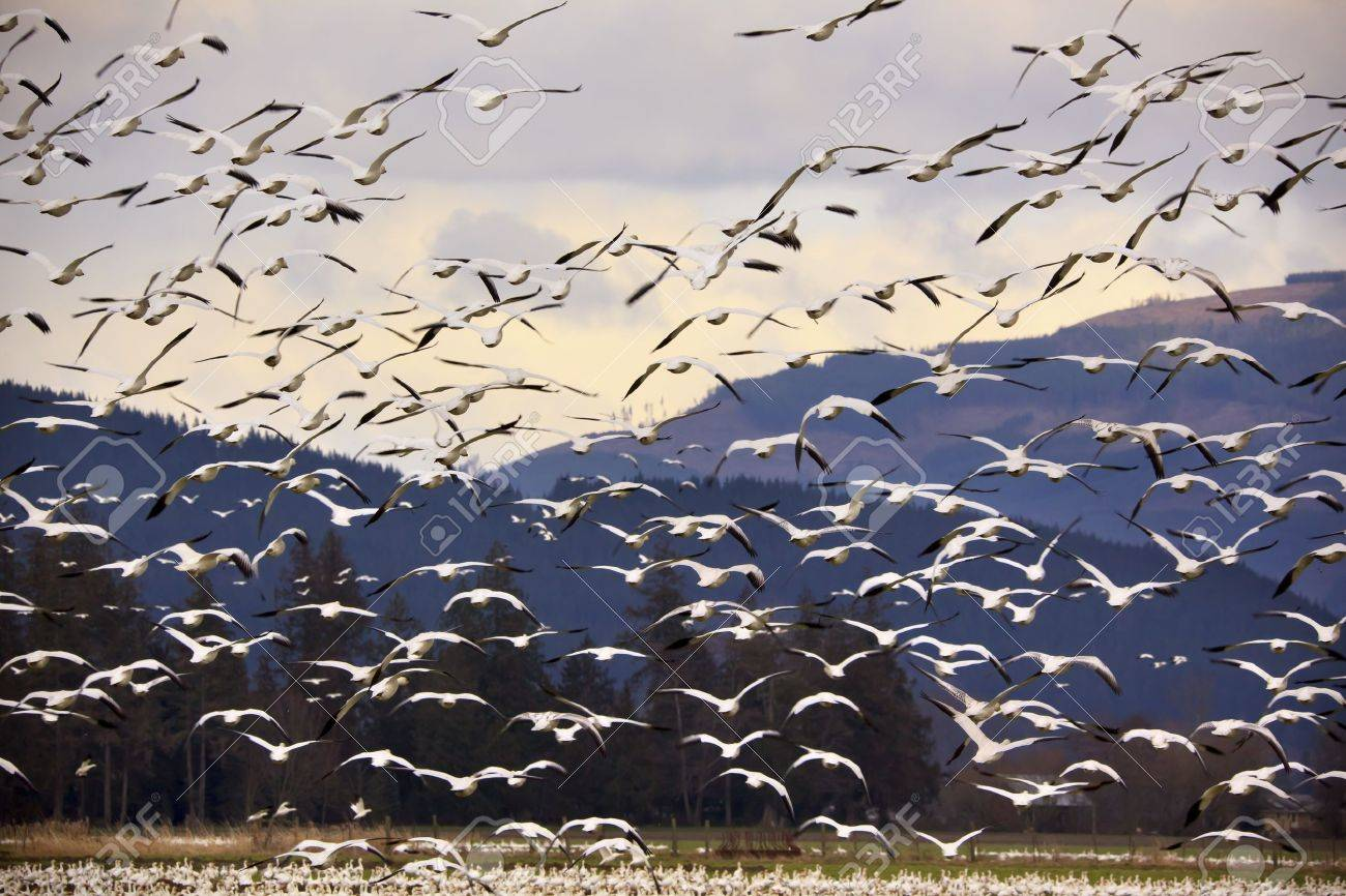 Thousands of Snow Geese Flying Across MountainBlack dots in background are not sensor spots by the black wings of snow geese in the distance - 9282027