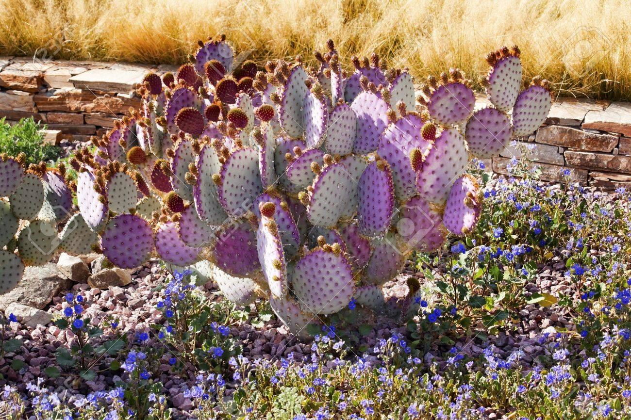 Purple Cactus Blue Flowers Desert Botanical Garden Papago Park Sonoran  Desert Phoenix Arizona Stock Photo