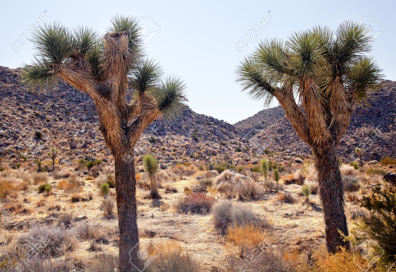 Joshua Trees Landscape Yucca Brevifolia Mojave Desert Joshua