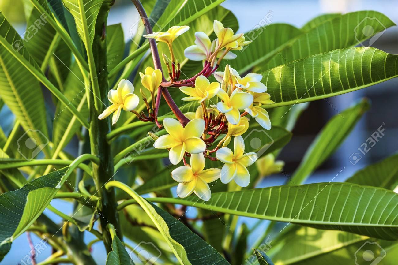 Plumeria Frangipini Blossums Flowers Sea Of Galilee Israel Stock