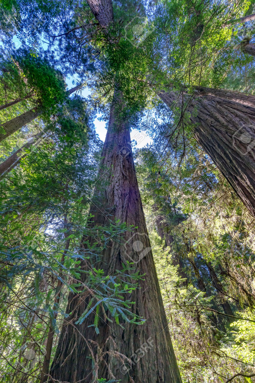 Green Towering Redwoods National Park Newton B Drury Drive Crescent City California. Tallest trees in World, 1000s of year old, size large buildings - 125978217