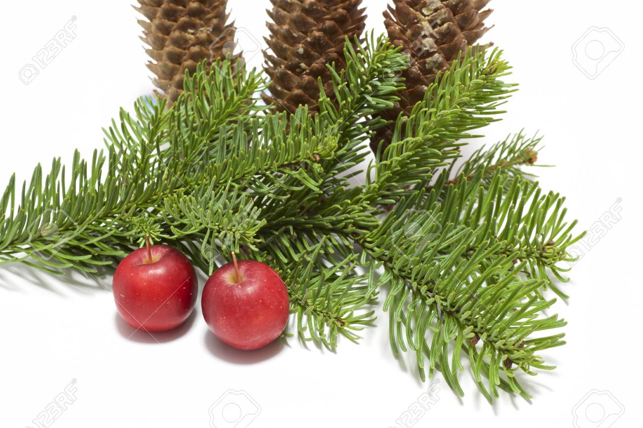 Christmas Tree Seeds.Fir Tree Seed Decoration