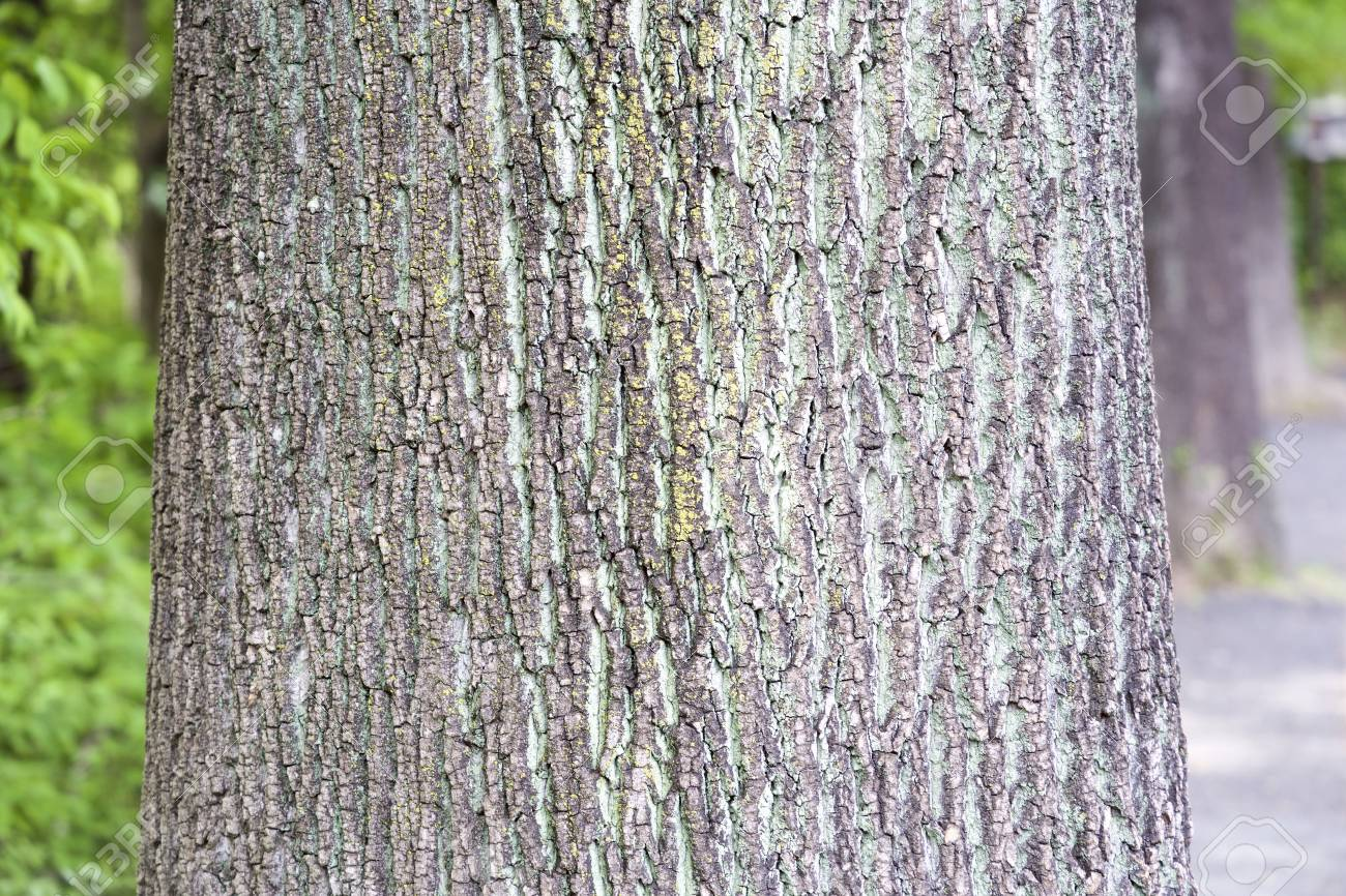 Camphor Tree Bark