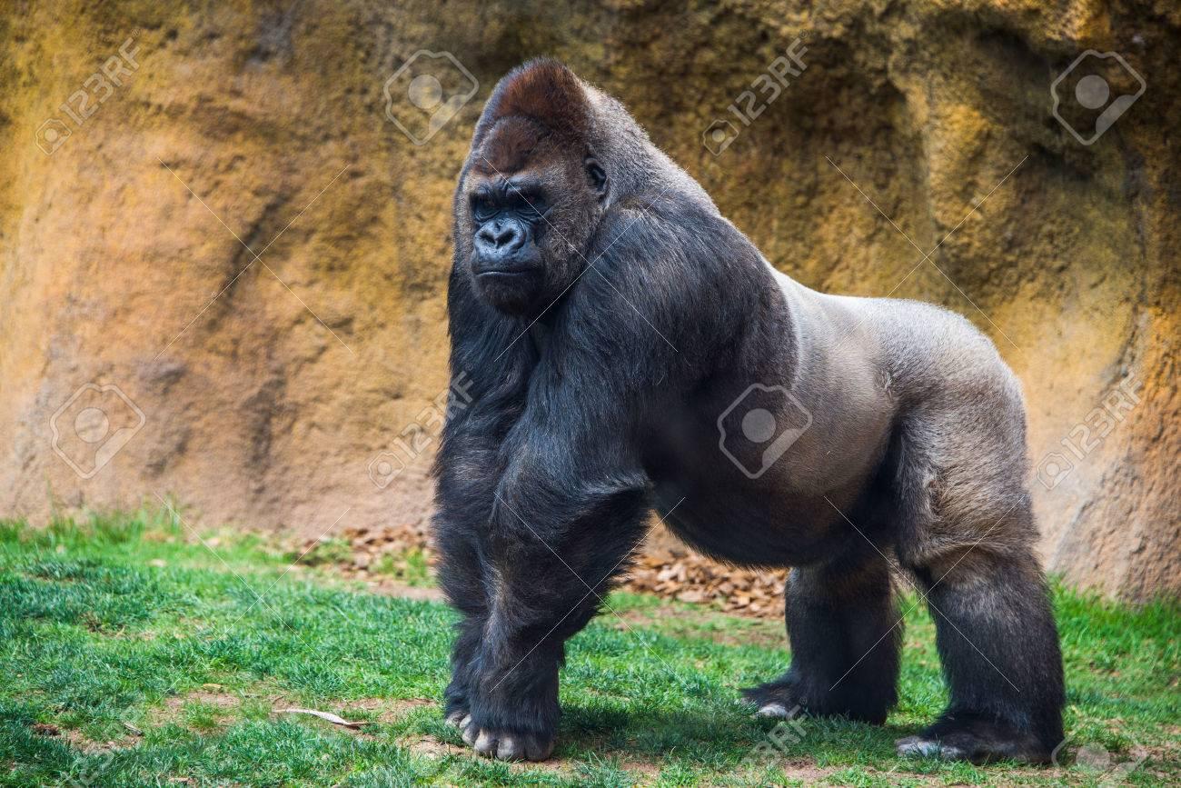 Male gorilla. - 49595044