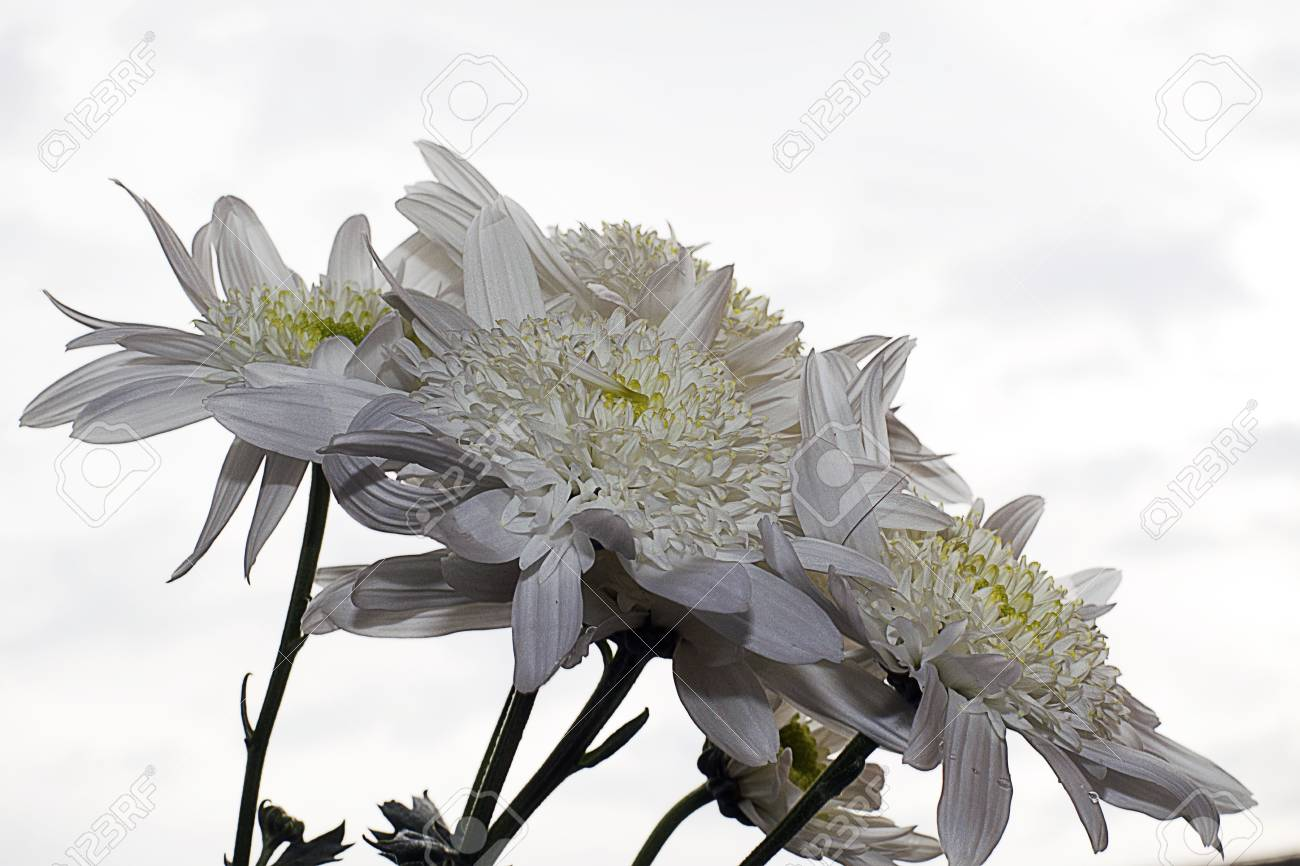 White Autumn Flowers Close Up Stock Photo Picture And Royalty Free