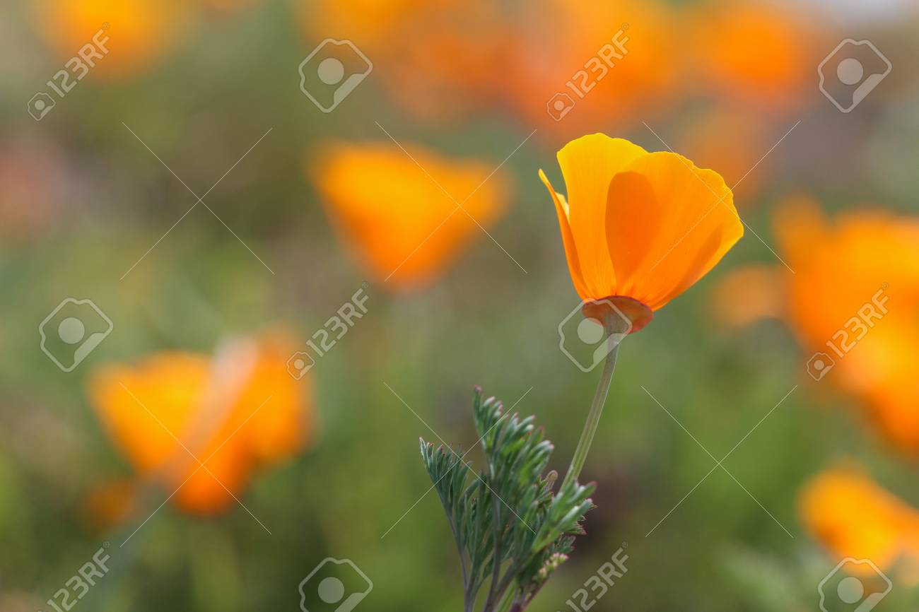 California Poppy Flower California Usa Stock Photo Picture And