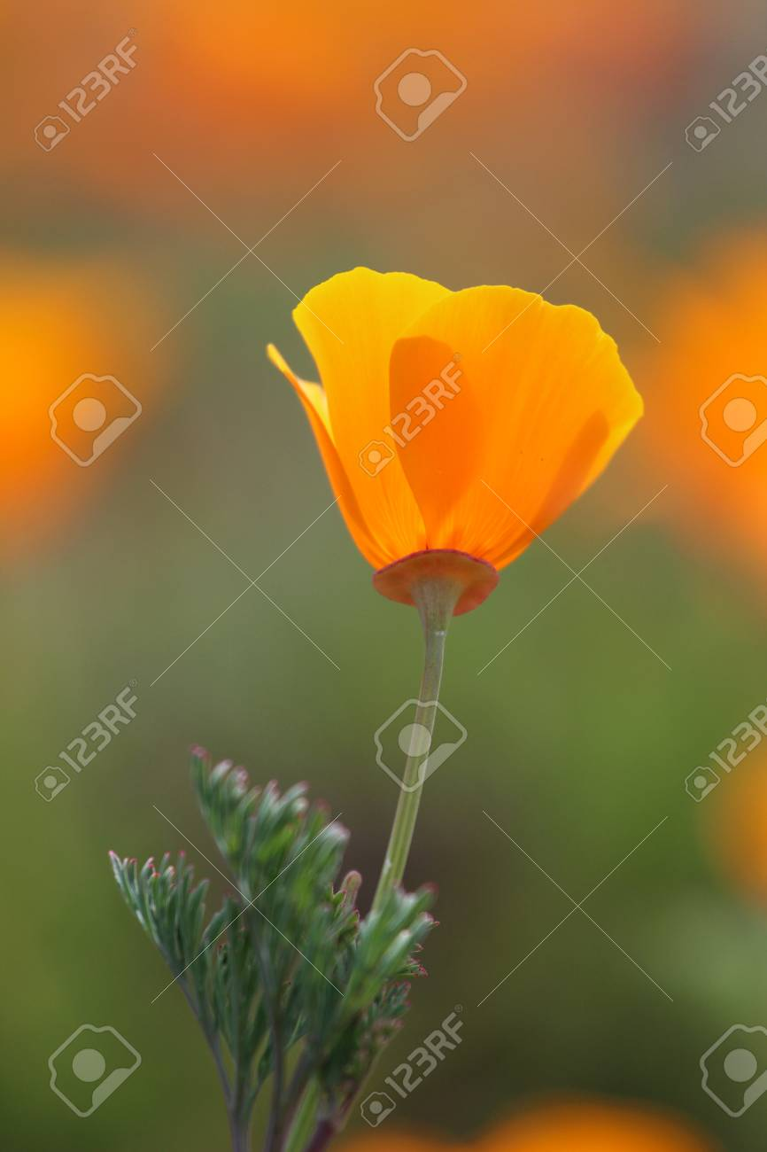 California Poppy Flower Close Up Stock Photo Picture And Royalty