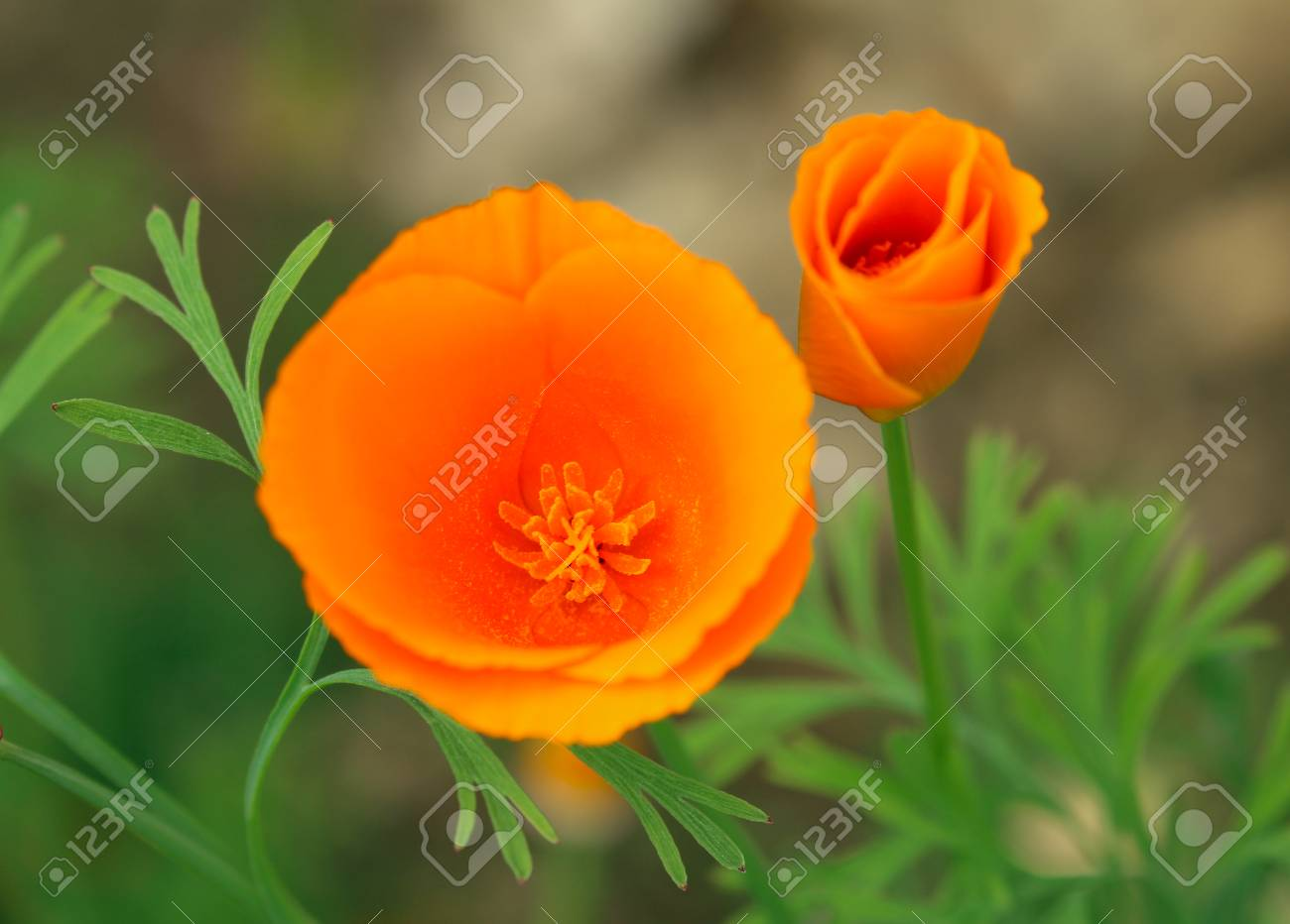 California Poppy Eschscholzia Californica Official State Flower