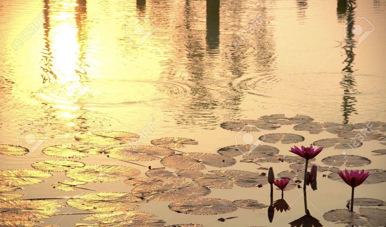 sunshine rising lotus Stock Photo - 12183414