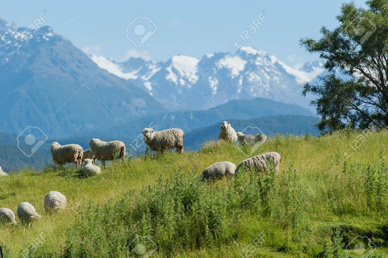 Group of sheep with snow mouintain in background Stock Photo - 13750717