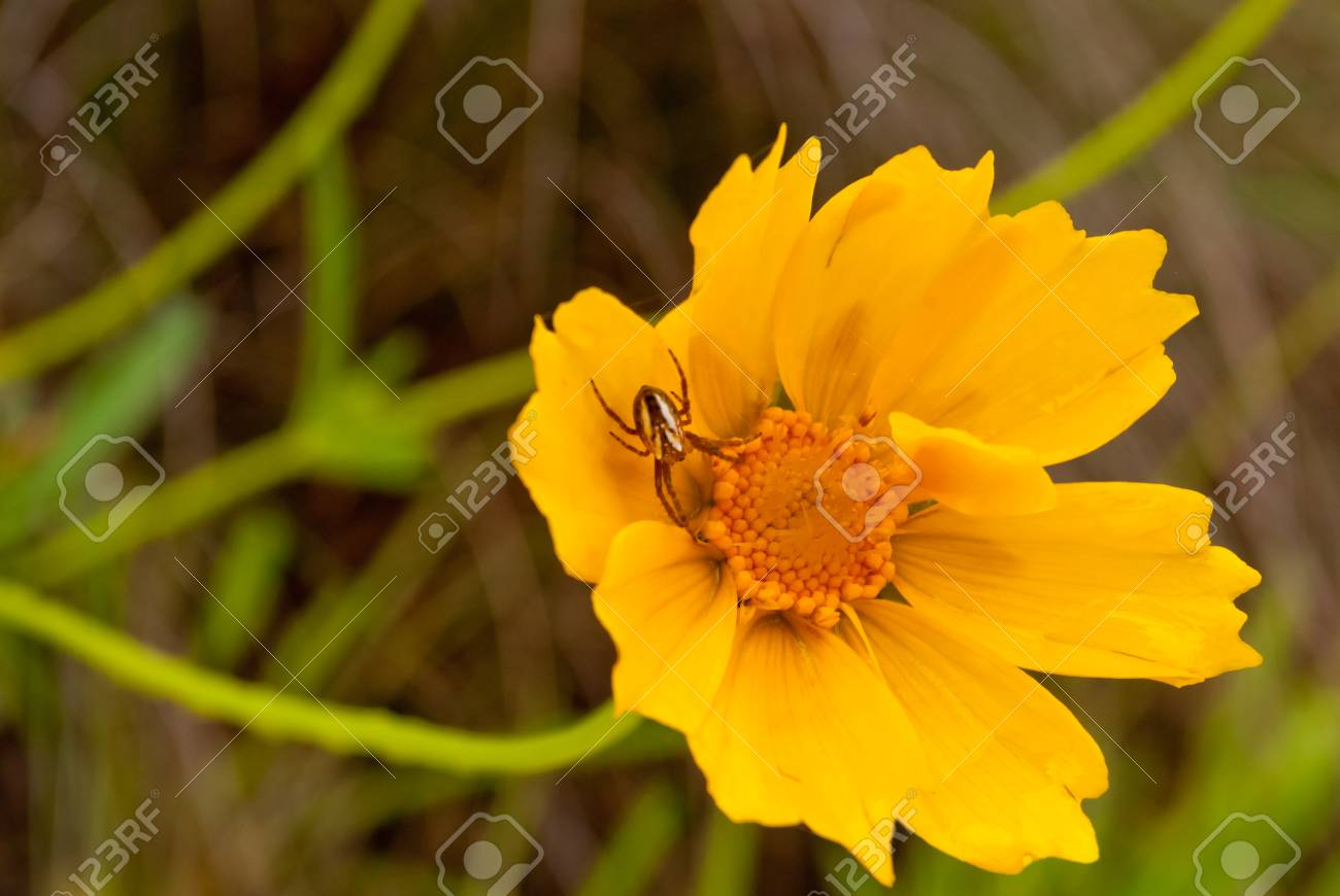 Little spider on a yellow flower Stock Photo - 16727459