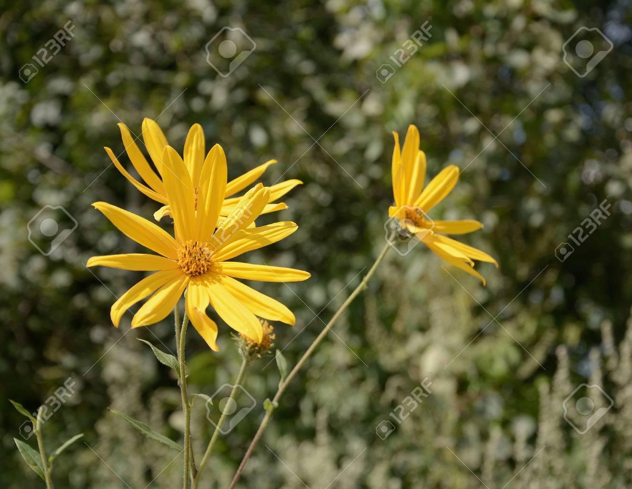 Flores Silvestres Amarillas En El Campo Un Dia De Verano Fotos