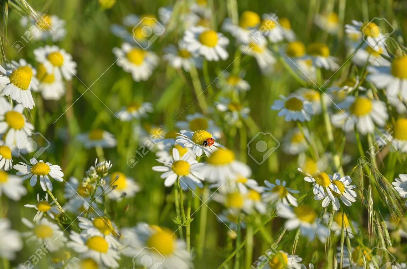 Wild flowers daisies in the field stock photo picture and royalty stock photo wild flowers daisies in the field izmirmasajfo