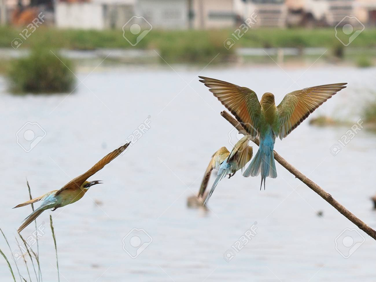 Blue-tailed Bee-eater Composite Shot Stock Photo - 12943154