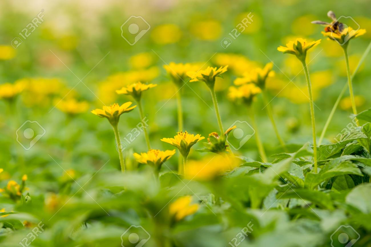 Many Little Yellow Flowers With Bees In Morning Sun Stock Photo