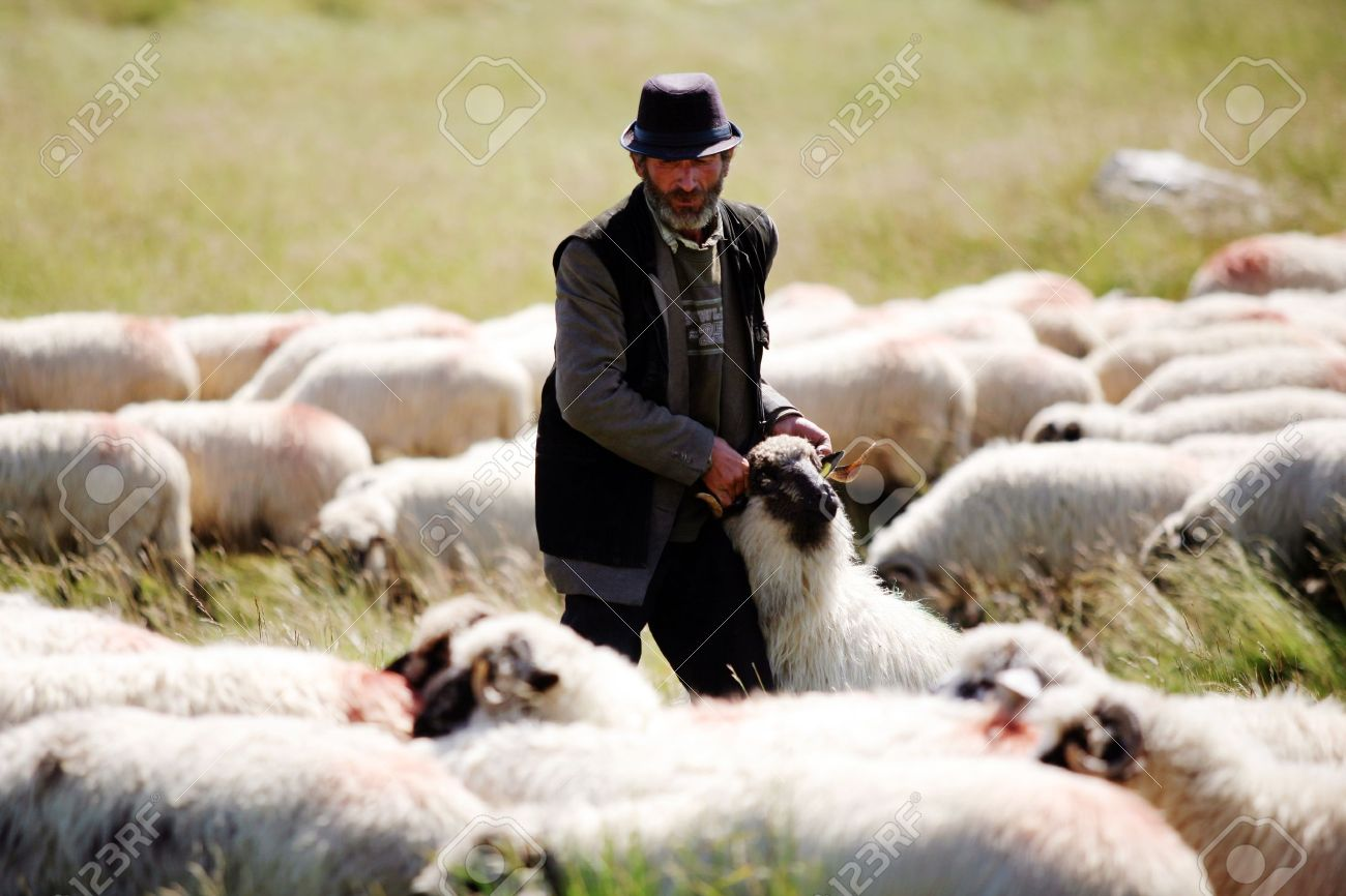 Lupeni, Romania - July 28, 2011: An elderly shepherd carries a sheep on a sunny day. Stock Photo - 10310764