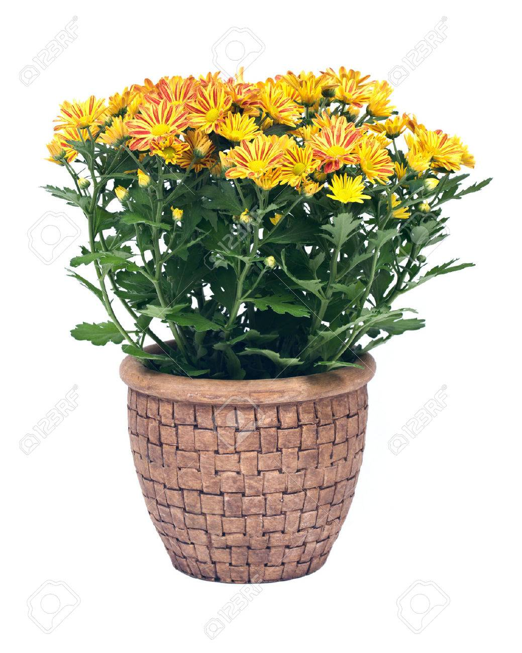 Fall mums flowers in clay pot separated on white background - 64012231