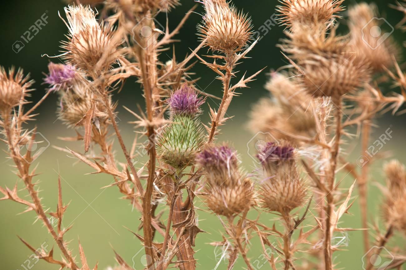 Fleurs De Chardon Sechees Avec Des Graines Mures Sur Le Bord De La
