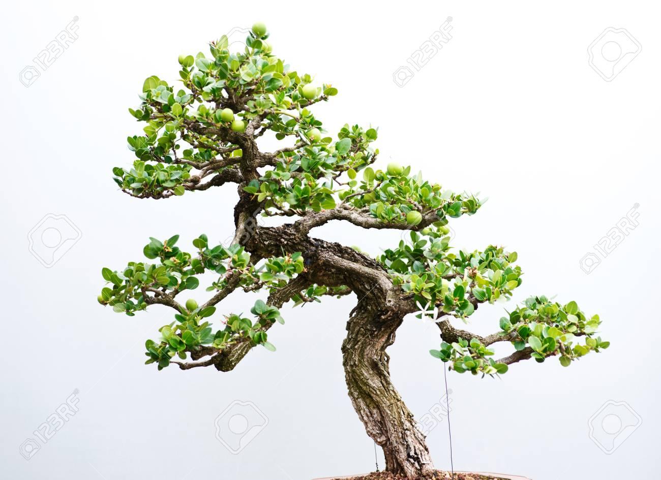 Traditional Bonsai Tree Japanese Art Form Using Trees Grown
