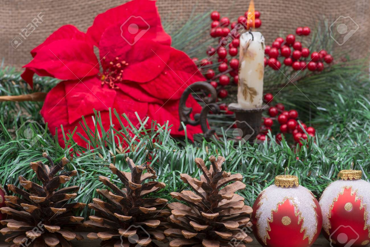 cfdc9c6d4553 Winter holiday decoration: Blooming Red Poinsettia, Pine, Berry..