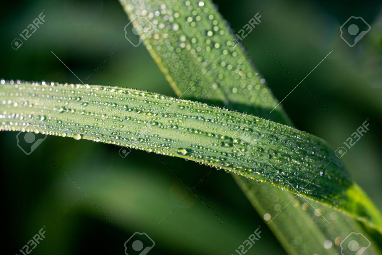 Green Grass with Dew Drops in the prairie field of the sanctuary park in the morning sun. Summer nature background with water droplets. - 128873473
