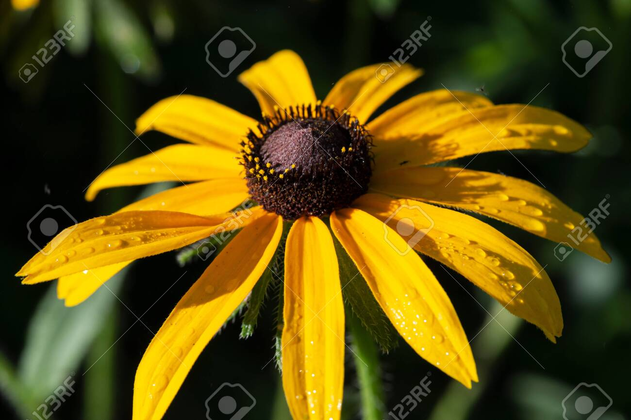 Yellow Coneflower flowering perennial plant from Asteraceae family. Echinacea paradoxa, a North American species in the sunflower family. - 128873397