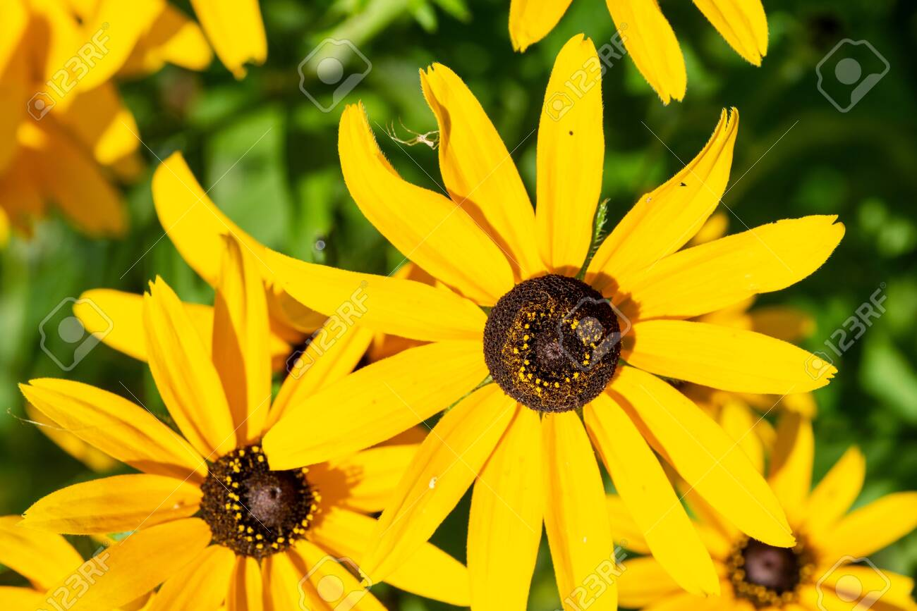 Yellow Coneflower flowering perennial plant from Asteraceae family. Echinacea paradoxa, a North American species in the sunflower family. - 128873401