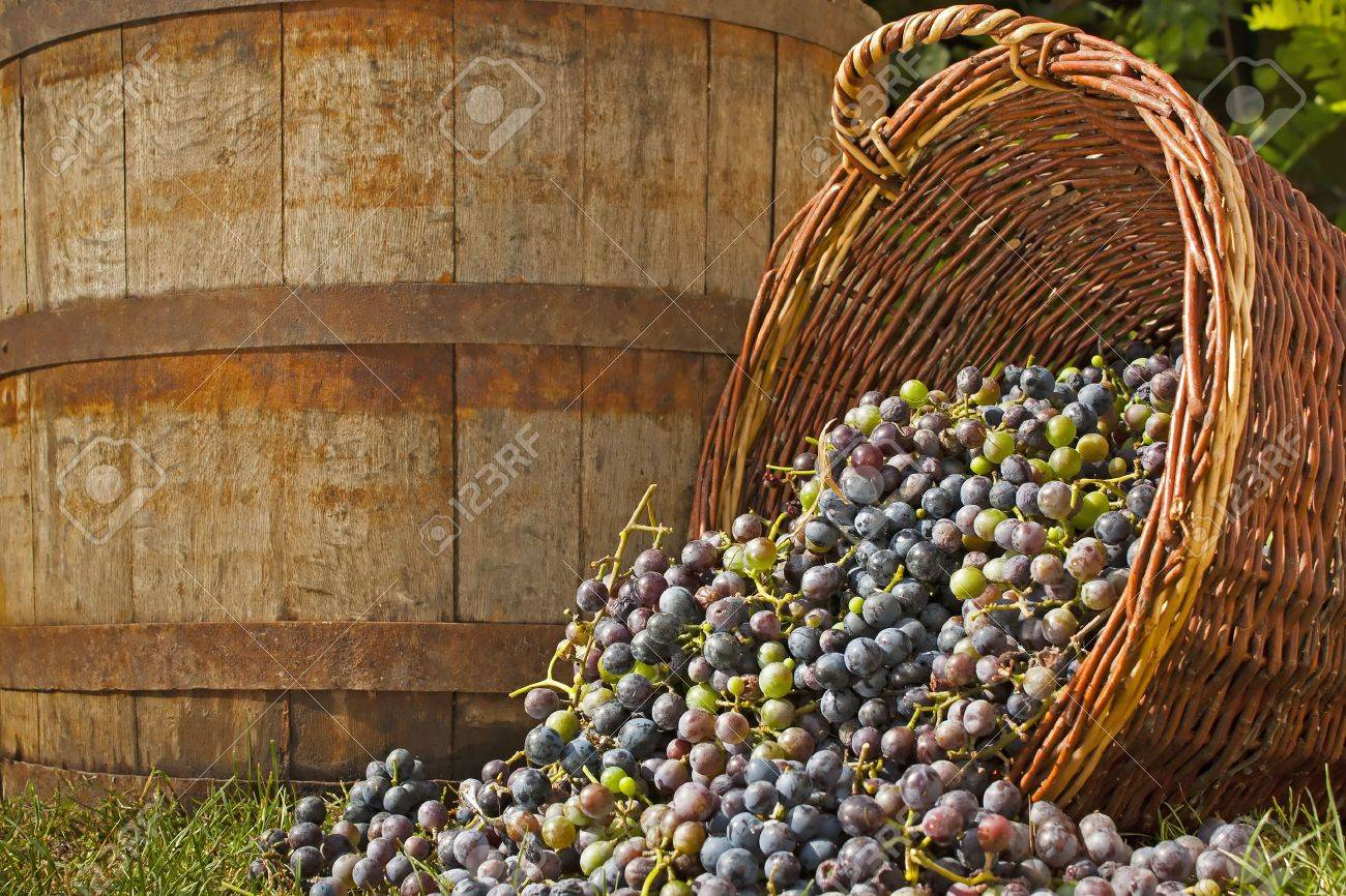 Freshly harvested wine grapes spilling out of whicker basket with an old barrell backdrop Stock Photo - 10504160
