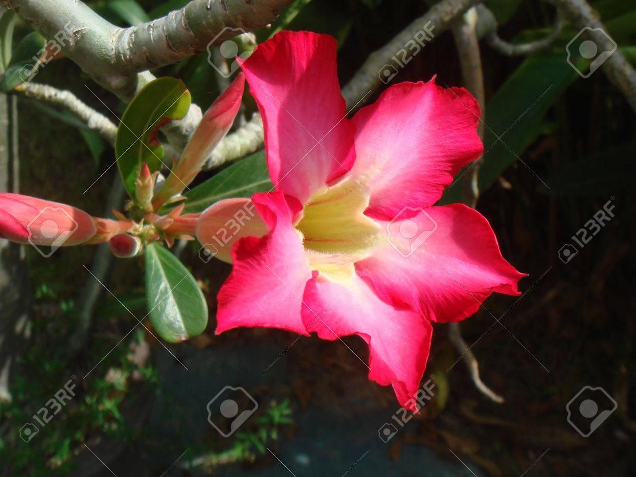Adenium obesum flower Stock Photo - 16975821