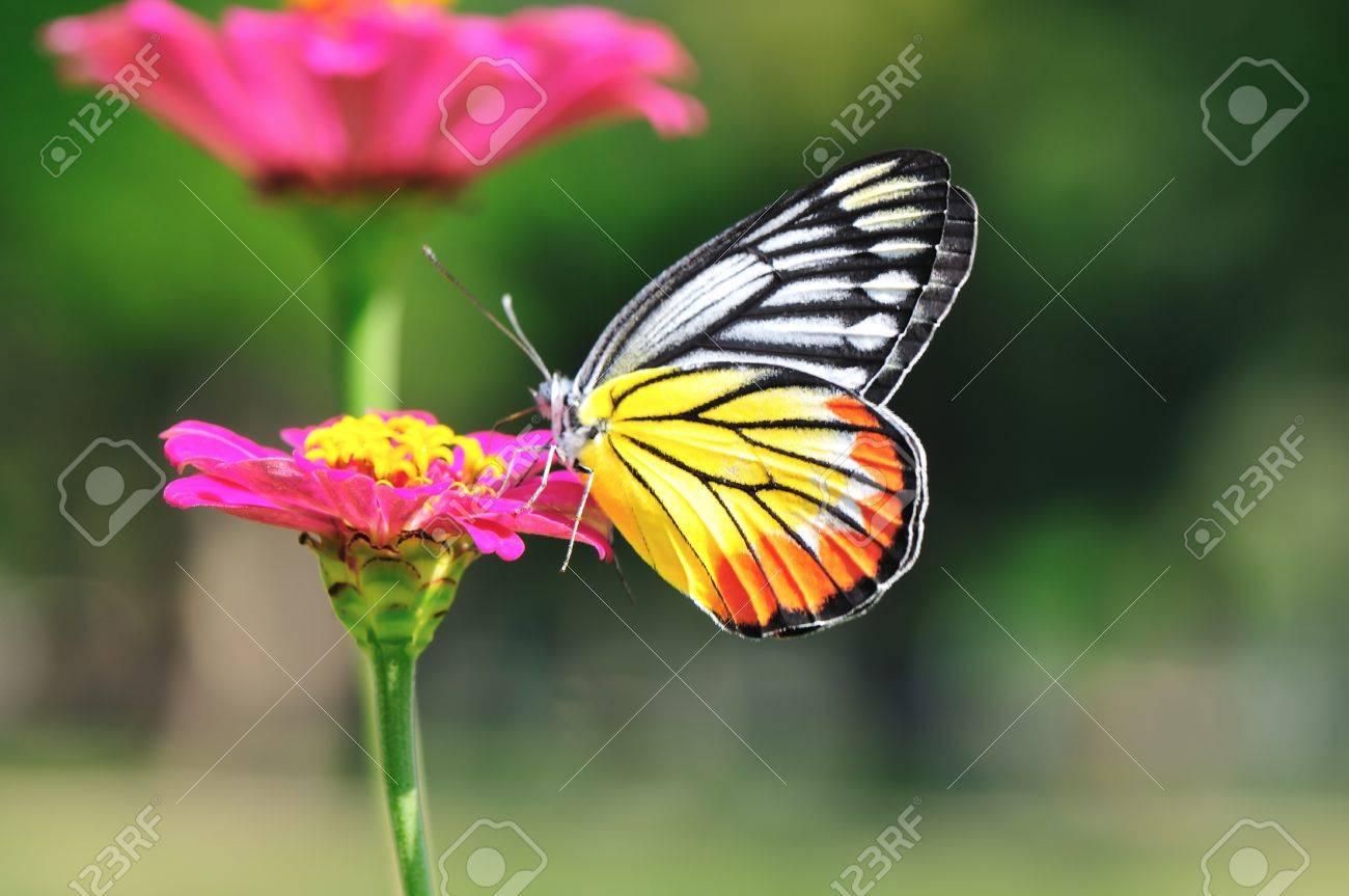 Painted Jezebel butterfly swarm pink flower Stock Photo - 8570595
