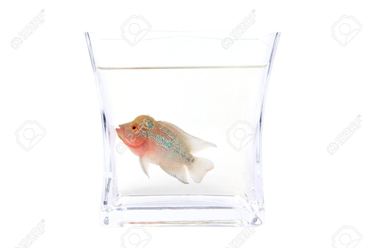 Flowerhorn Cichlid fish in the aquarium isolated on White background. Stock Photo - 14121139