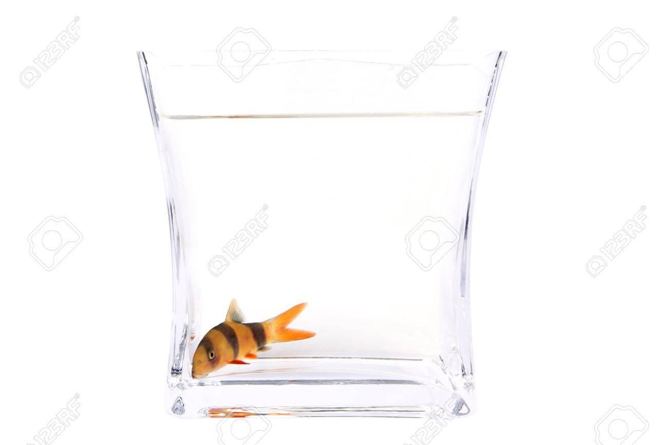 (Botia macracantha, Chromobotia macracanthus,Clown loach) fish in the aquarium isolated on White background. Stock Photo - 14121146