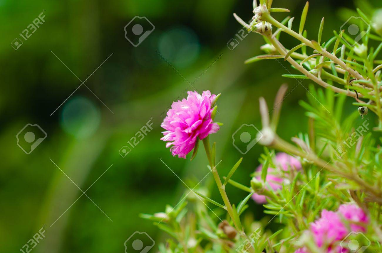 Fiori Piccoli.Immagini Stock Piccoli Comuni Fiori Rosa Molti Fiori Piccoli