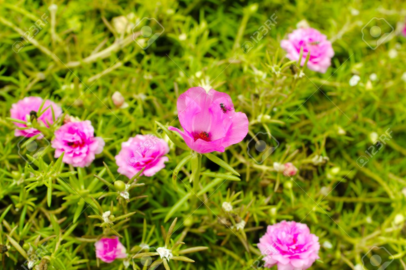 Little common flowers pink many flowers small colorful pink little common flowers pink many flowers small colorful pink flowers bloom so beautifully mightylinksfo