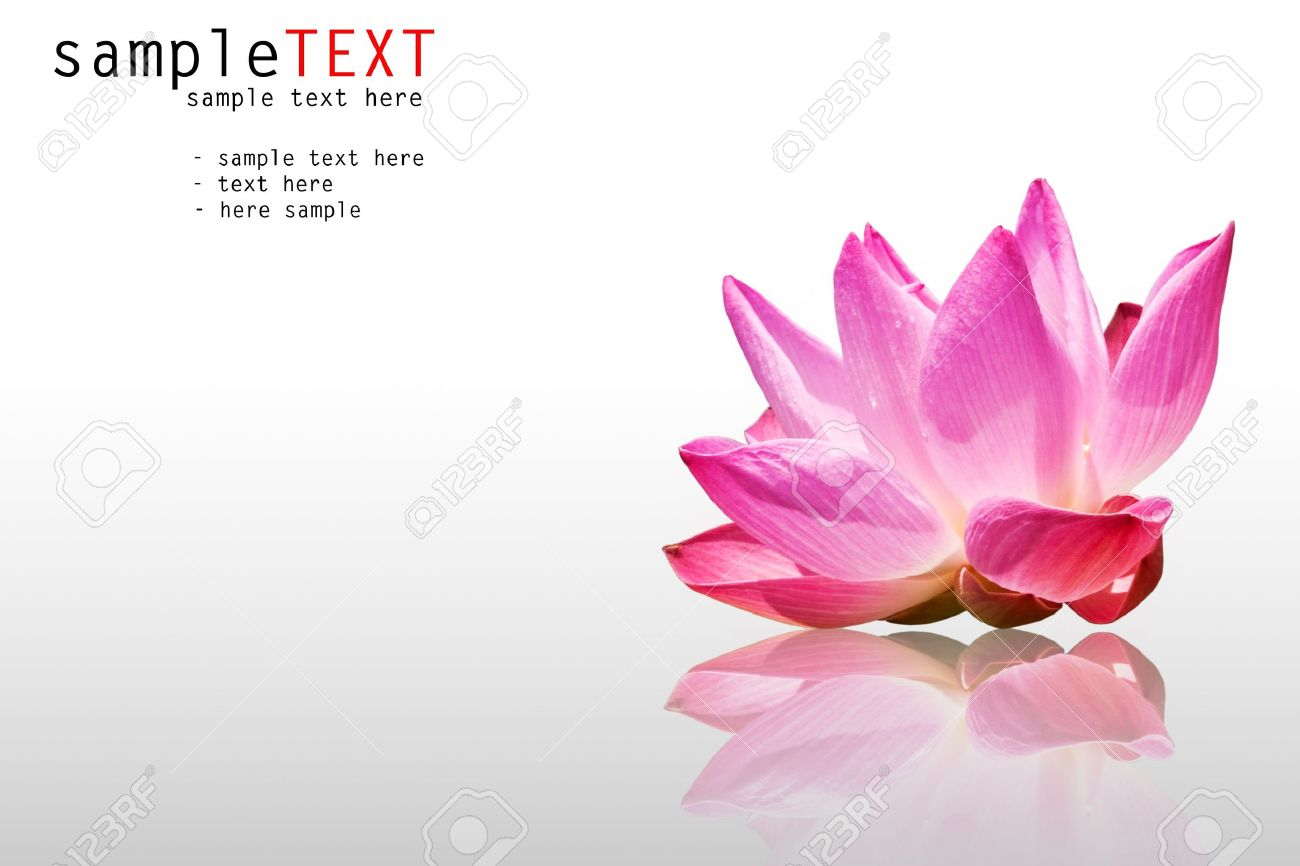Pink water lily reflex on white background Stock Photo - 8398556