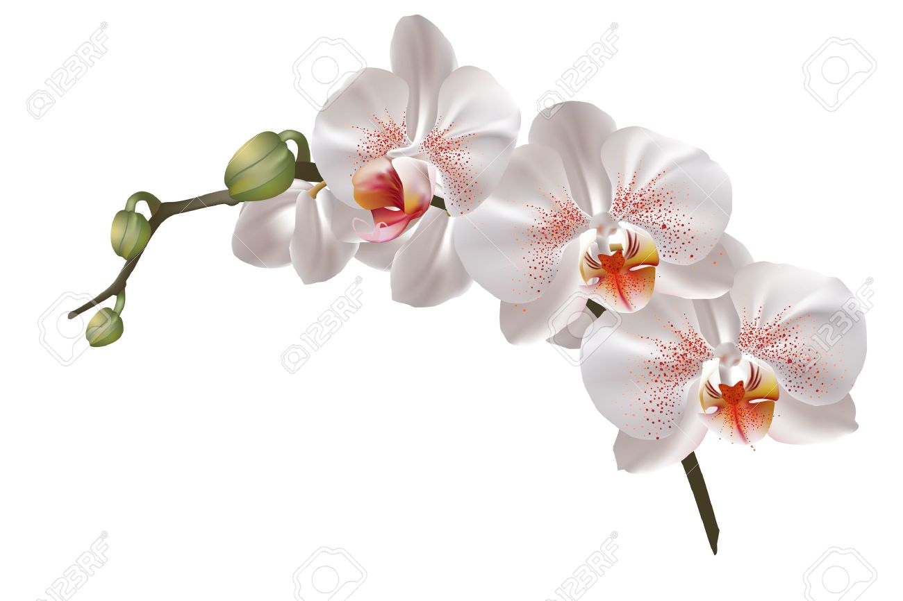 White Orchid Flowers Royalty Free Cliparts Vectors And Stock