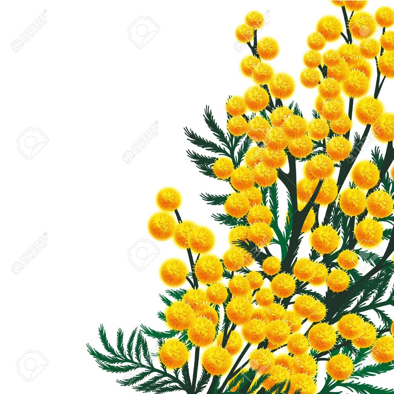 Mimosa flowers - 25042078
