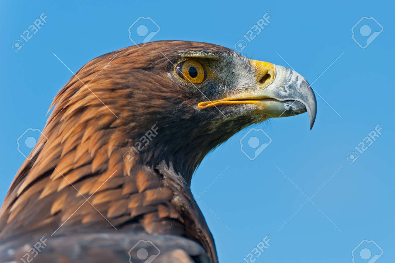 The head of a Golden Eagle in profile. Stock Photo - 15163030
