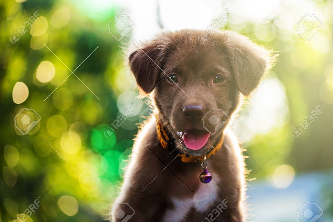 Best Puppy Brown Adorable Dog - 69848660-brown-adorable-labrador-retriever-puppy-dog-portrait-against-sunset-light-and-bokeh-yard-background  Picture_522035  .jpg