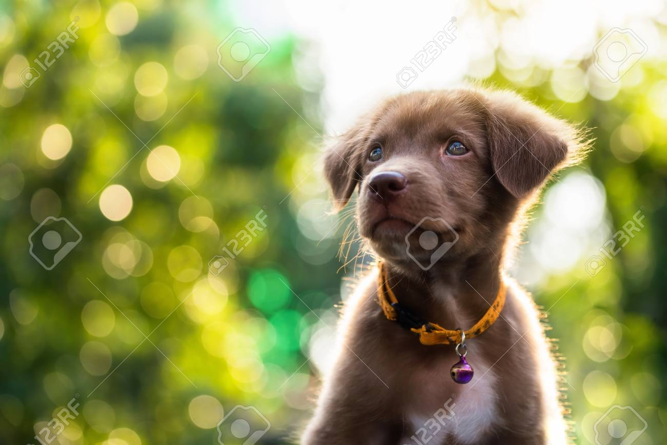 Good Cute Canine Brown Adorable Dog - 92530543-happy-adorable-brown-labrador-retriever-puppy-with-bokeh-leaf-abstract-background-cute-smile-canine-  You Should Have_29764  .jpg