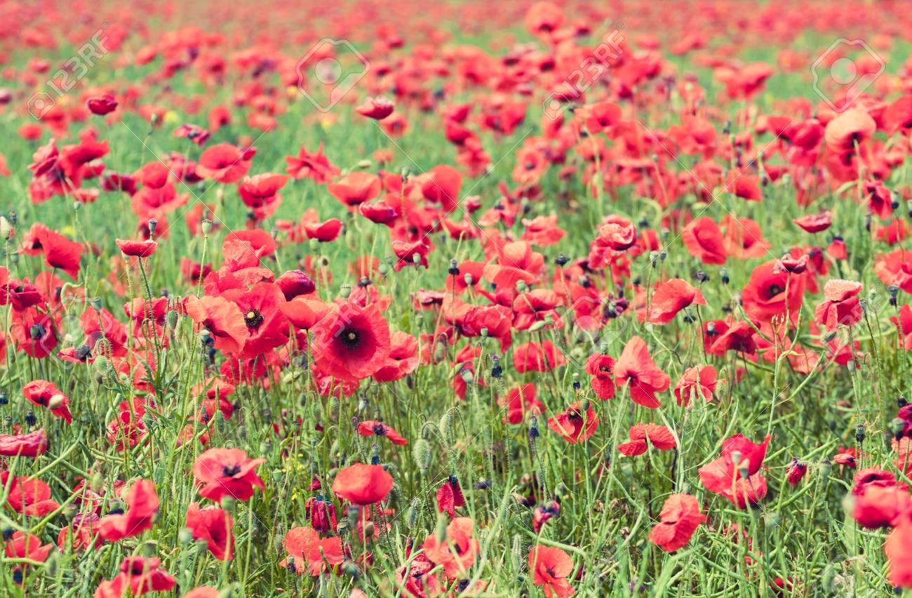 Poppy Flowers Retro Vintage Summer Background Shallow Depth Stock