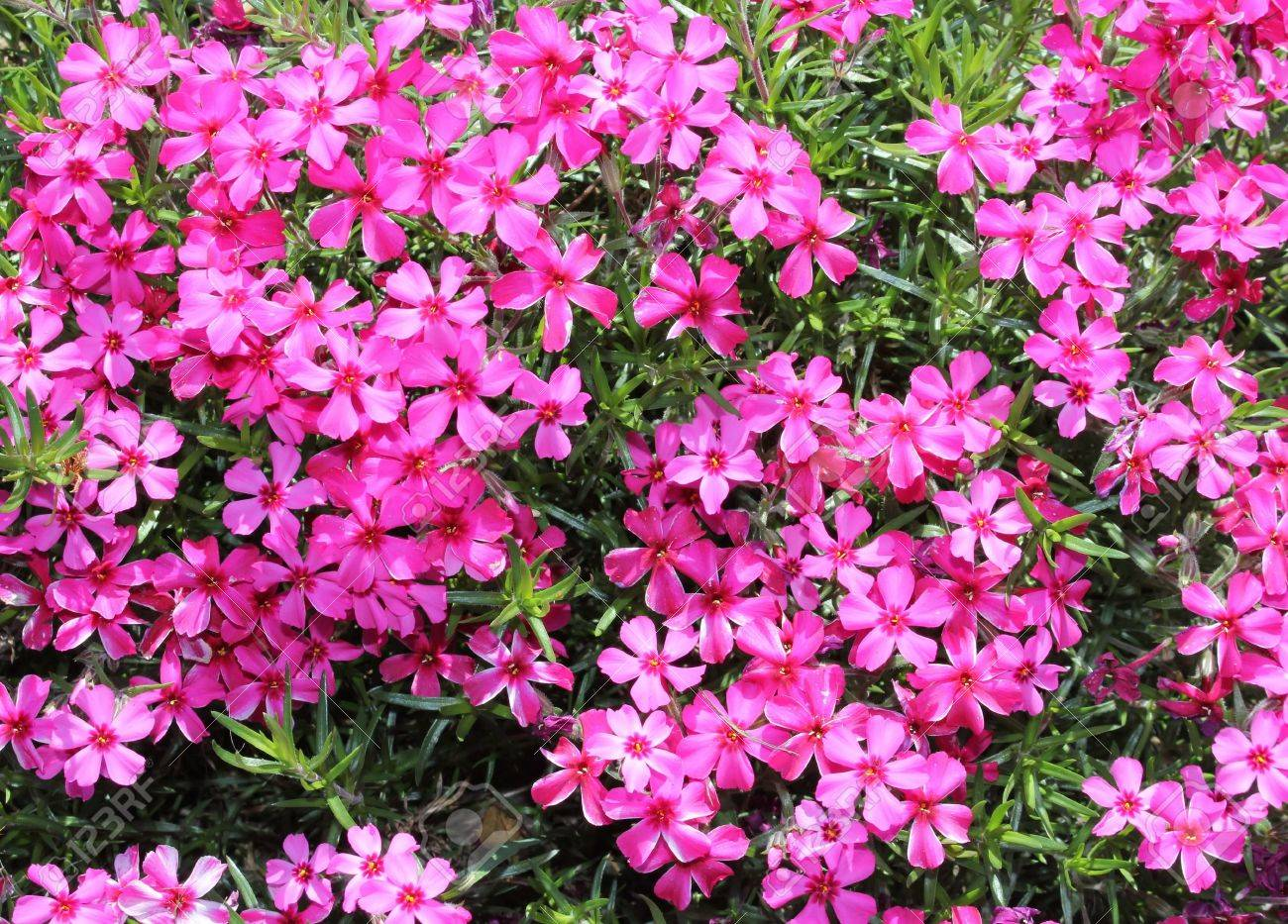 moss phlox  Phlox subulata  flowers Stock Photo - 18135003
