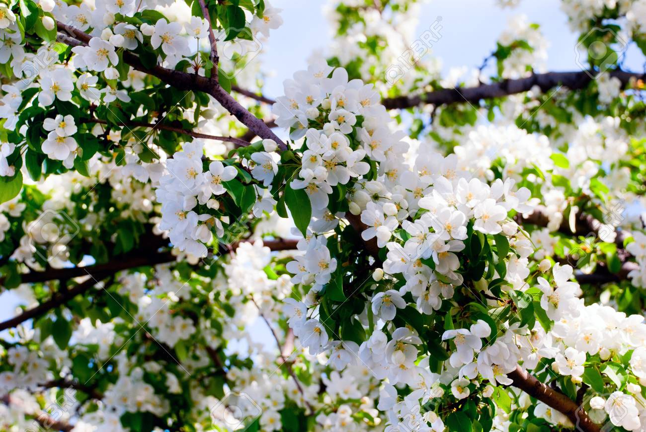 A close up of a blooming fruit tree Stock Photo - 9611483