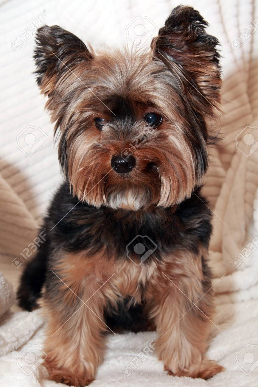 Cute Yorkie Sitting On A White Towel Stock Photo Picture And