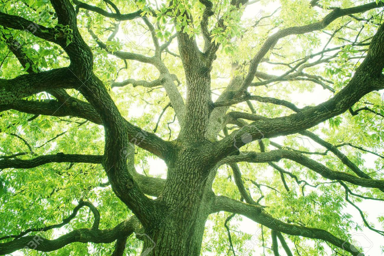 Big tree in a forest. Fresh green and ecology - 50130899