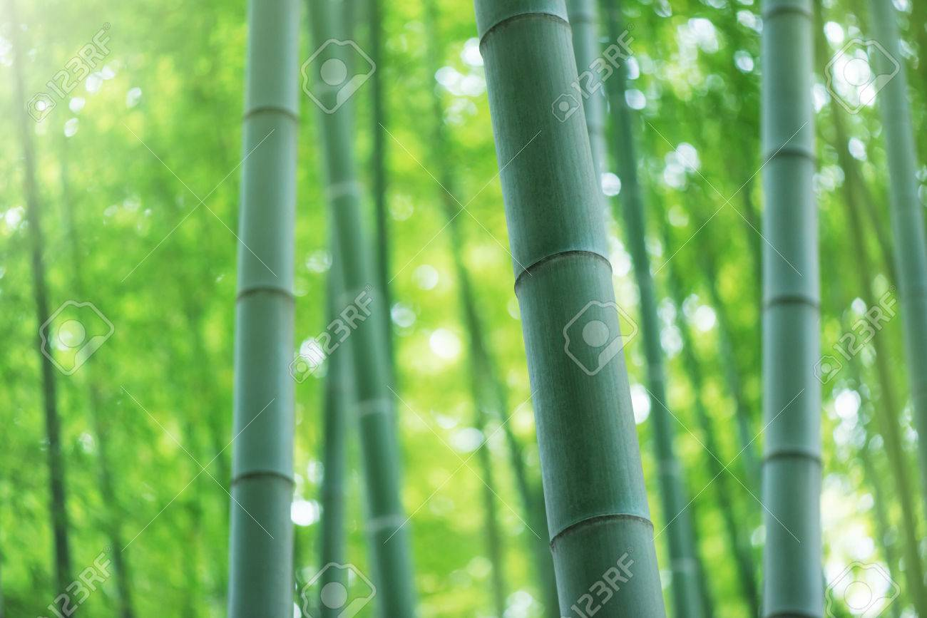 Bamboo forest, Tourism. - 50143848